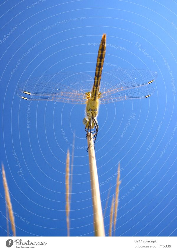 Großlibelle Startklar Libelle Luft Beginn Insekt Himmel Flügel fliegen Halm Nahaufnahme 0711concept