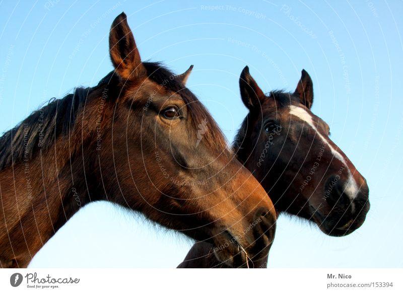 HANNO + VERA ...ner Pferd Tier Pferdekopf 2 braun Säugetier horse reitpferd paarweise Auge Tierpaar