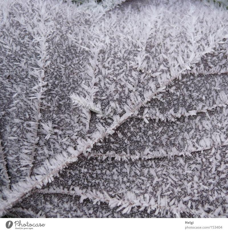 eisiges Blatt... welk Winter Frost Eis kalt Gefäße Raureif Natur Kristallstrukturen Strukturen & Formen braun weiß Vergänglichkeit Helgi Schnee