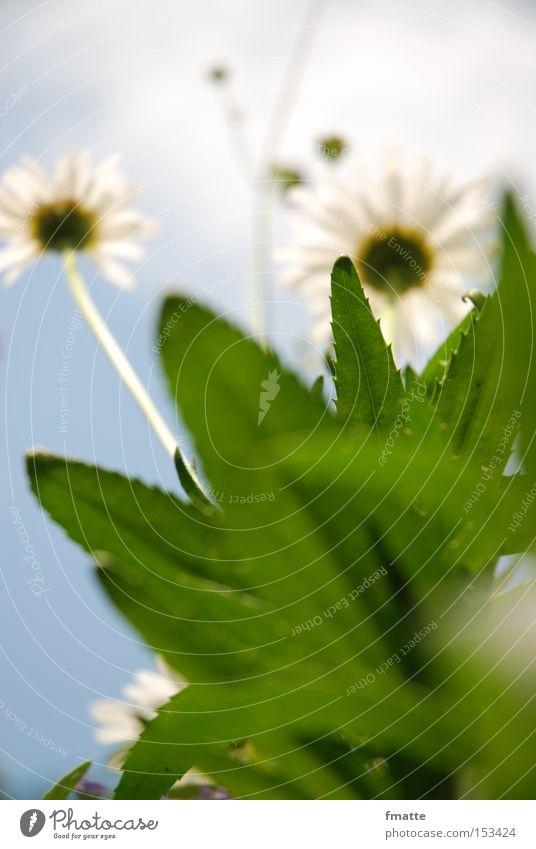 Sommer Himmel Blume grün Sommer Wolken Wiese Blüte