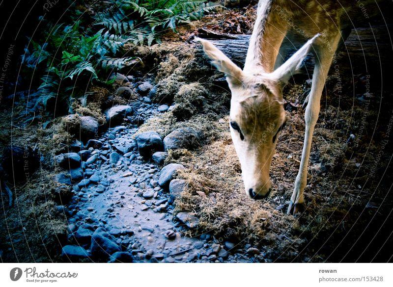 bambi Wald Wildfleisch zart Jagd Säugetier Hirsche Schwäche Reh Jäger Beute Wildnis Bambi Rehkitz