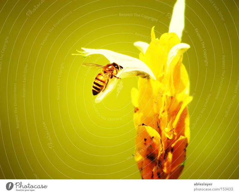 Meine Biene Honigbiene Natur gelb Blume Staubfäden Pflanze Tier Insekt Tragfläche Makroaufnahme Luftschicht