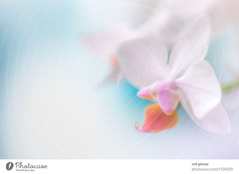 Orchidee Natur Pflanze Frühling Blume Blüte violett rosa türkis weiß Farbfoto Nahaufnahme Makroaufnahme Menschenleer Tag Unschärfe