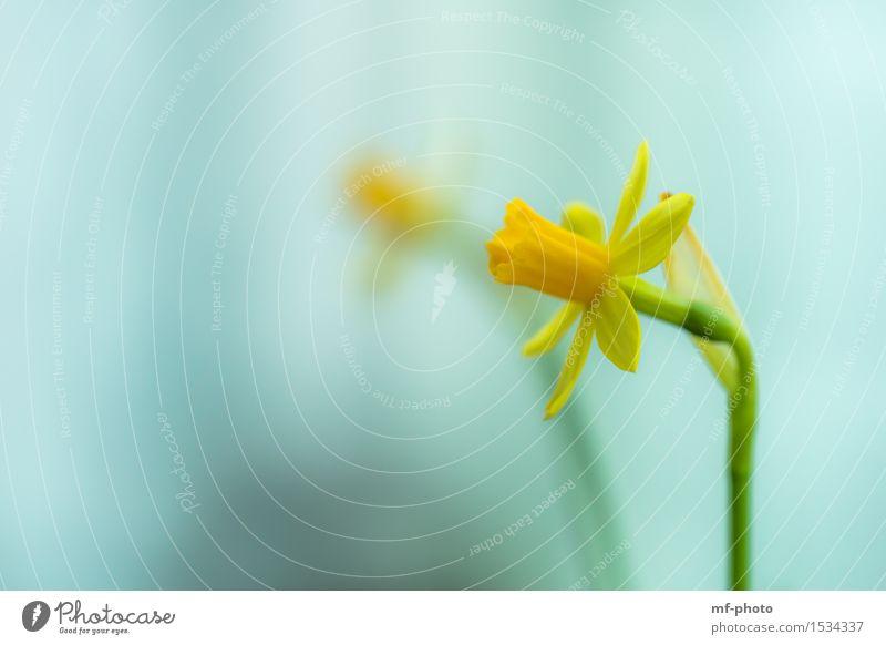 Narzisse Natur Pflanze Blume narzisse Gelbe Narzisse Narzissen gelb grün türkis Farbfoto Außenaufnahme Makroaufnahme Menschenleer Tag Unschärfe