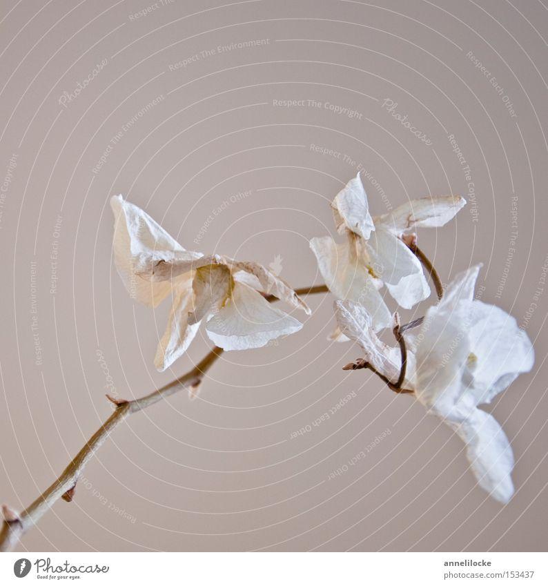 tote schönheit elegant Stil Häusliches Leben Pflanze Dürre Blume Orchidee Blüte Stengel ästhetisch trocken weiß Gefühle Stimmung Traurigkeit Trauer Tod