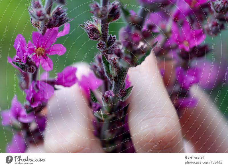Zartfühlend Frau Natur Hand schön Blume Pflanze Sommer Farbe Blüte Frühling Haut Finger weich violett zart sanft