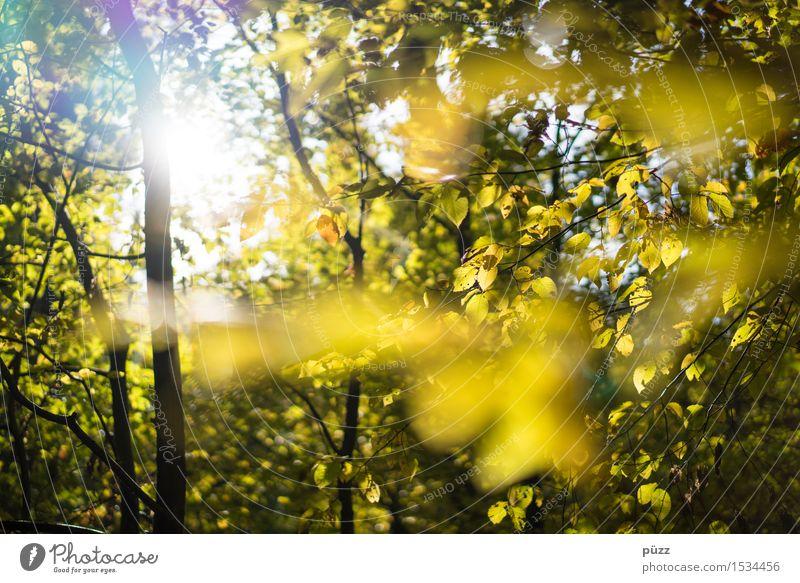 Herbst Umwelt Natur Pflanze Sonne Sonnenlicht Schönes Wetter Baum Blatt Grünpflanze Wildpflanze Buche Buchenwald hell natürlich schön Wärme gelb gold grün