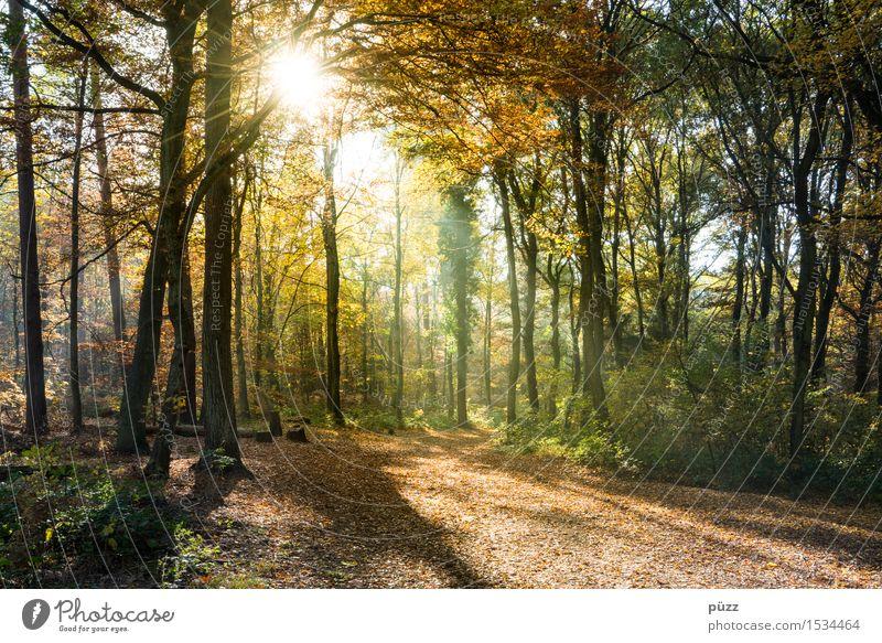 Goldener Herbst Umwelt Natur Landschaft Pflanze Sonne Sonnenlicht Schönes Wetter Baum Blatt Wald wandern hell Wärme mehrfarbig gelb gold grün herbstlich