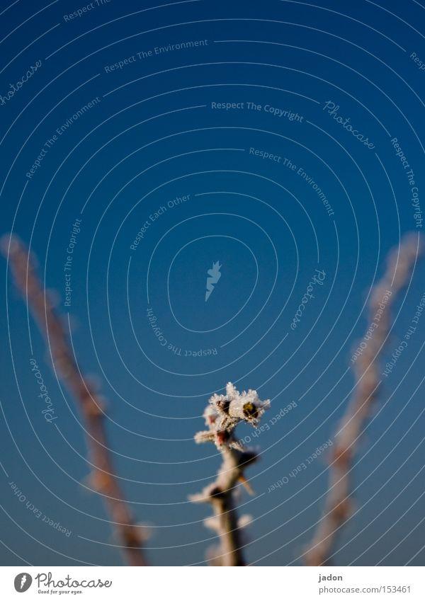 Kimme und Korn blau Winter kalt Eis Linie Frost Sträucher Tee Neugier gefroren Jagd Mütze Eiskristall Hagebutten