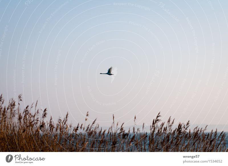 Boddensegler II Natur Wolkenloser Himmel Schilfrohr Riedgras Küste Ostsee Vorpommersche Boddenlandschaft Tier Wildtier Vogel Schwan 1 fliegen elegant blau braun