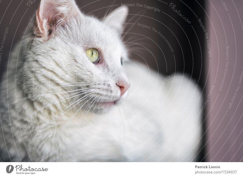 Loki Katze Natur schön weiß Erholung Einsamkeit ruhig Haus Tier Gesicht Glück Denken hell Freundschaft wild elegant