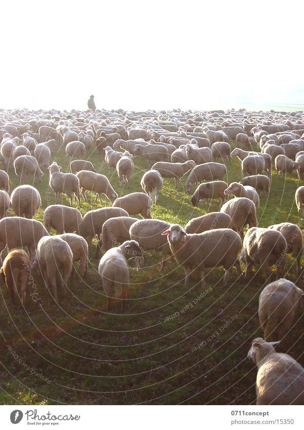 Herbstwiese Sonne Herbst Wiese Schaf