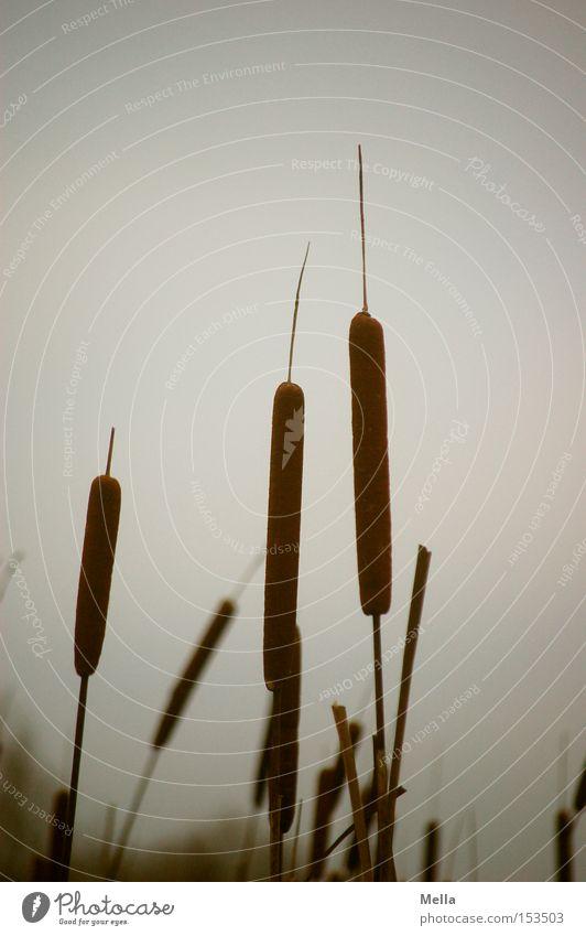 Schilf oder ähnlich dunkel grau trist Stengel Schilfrohr trüb Wasserpflanze Rohrkolbengewächse