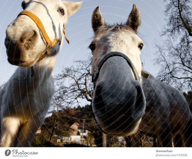 Neu Gier Nase Pferd Vertrauen Neugier Schimmel Fressen Säugetier Schwäche erstaunt Tier Reiten Landleben Nüstern