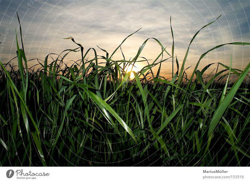 Gras Himmel blau Wolken grün Feld Sonne ruhig Sonnenuntergang Licht Schatten Natur Sommer Außenaufnahme
