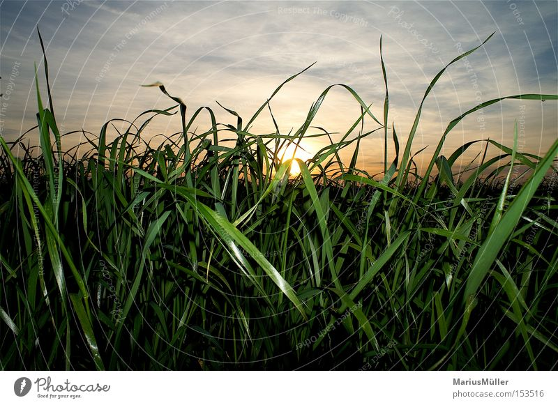 Gras Natur Himmel Sonne grün blau Sommer ruhig Wolken Gras Feld