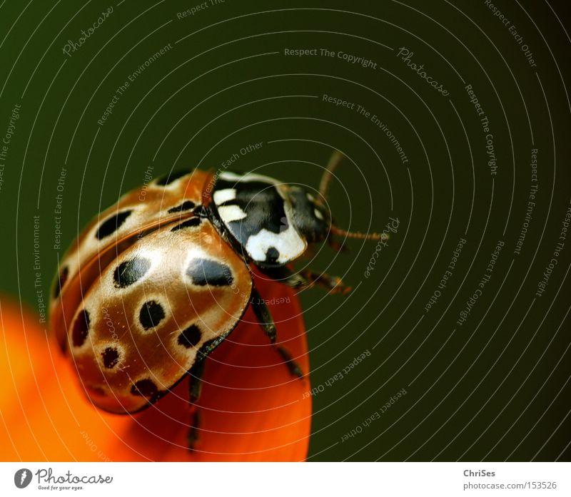 Start frei ins neue Jahr : Augenmarienkäfer Käfer Insekt Marienkäfer orange grün schwarz Tier Makroaufnahme Frühling fliegen Glück Beginn Nahaufnahme