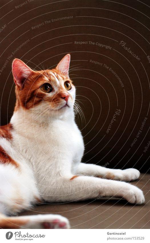 Efe schön weiß Tier Katze braun elegant ästhetisch Tiergesicht zart Fell Stillleben sanft edel Pfote Haustier Stolz