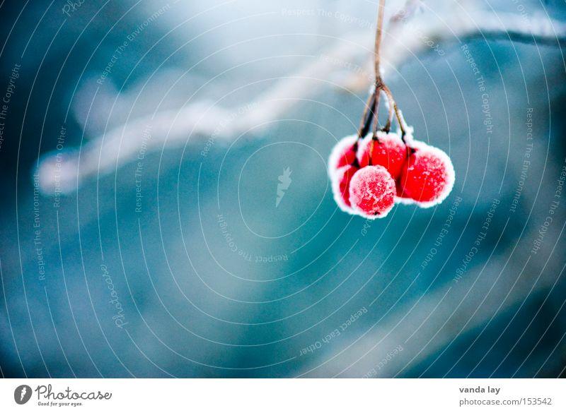 Beeren Winter Eis gefroren Natur Detailaufnahme rot Frucht Gift Schnee kalt frieren Hintergrundbild ungenießbar