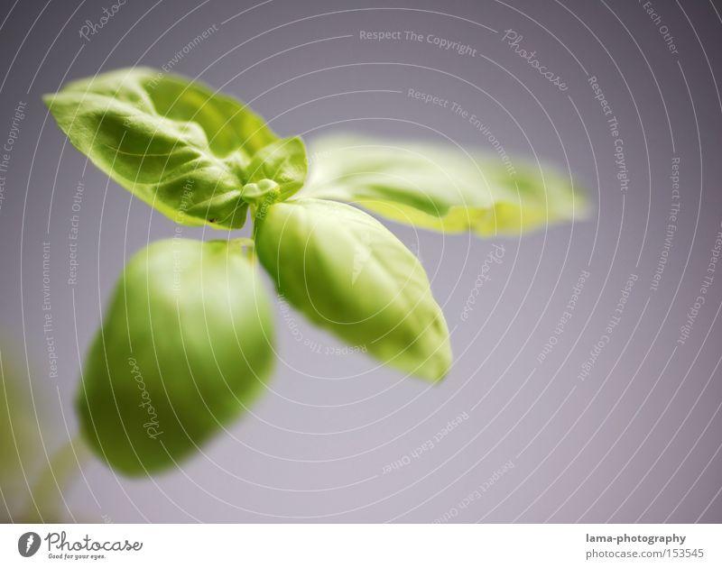 Ein Blättchen Frische Basilikum Kräuter & Gewürze frisch grün Jungpflanze Frühling Wachstum Küche Vegetarische Ernährung Gemüse Gastronomie Italien