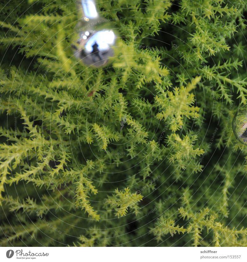 Eingeschmuggelt... Weihnachtsdekoration Christbaumkugel Konifere Pflanze grün hellgrün silber Zacken Spitze Tiefenschärfe Sträucher Reifezeit