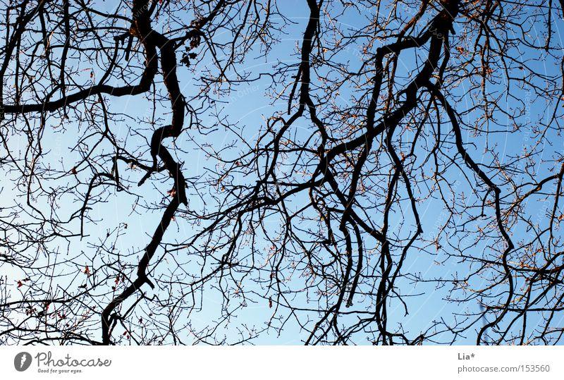 verzweigt Baum Zweig Ast Baumstamm Himmel Strukturen & Formen blau Pflanze Vernetzung