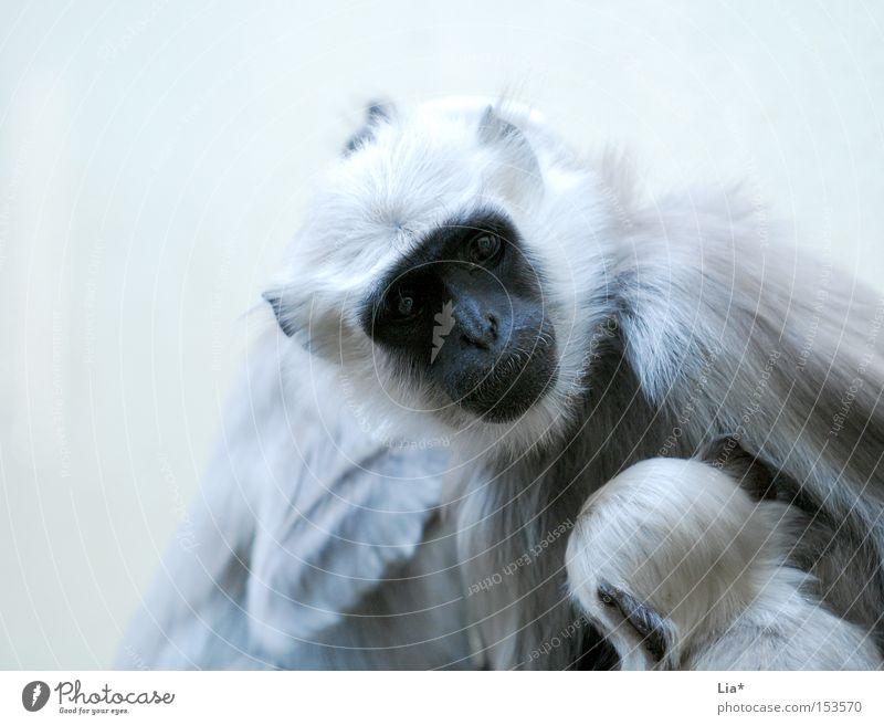ey aufpassen! weiß Auge Tier Fell Zoo Kontrolle silber Gesichtsausdruck Säugetier Affen Nachkommen Tierjunges