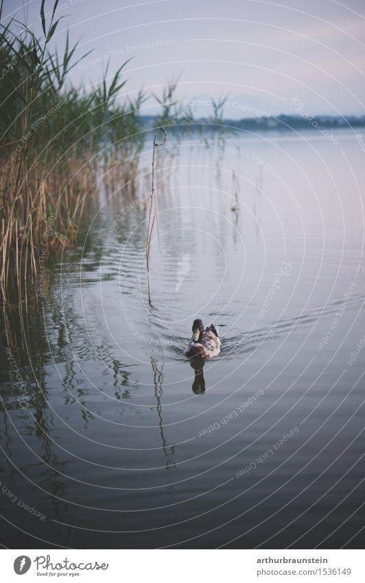 Ente im See Jagd Ausflug Umwelt Natur Landschaft Wasser Pflanze Wildpflanze Schilfrohr Wellen Seeufer Tier Wildtier Entenvögel 1 Schwimmen & Baden elegant
