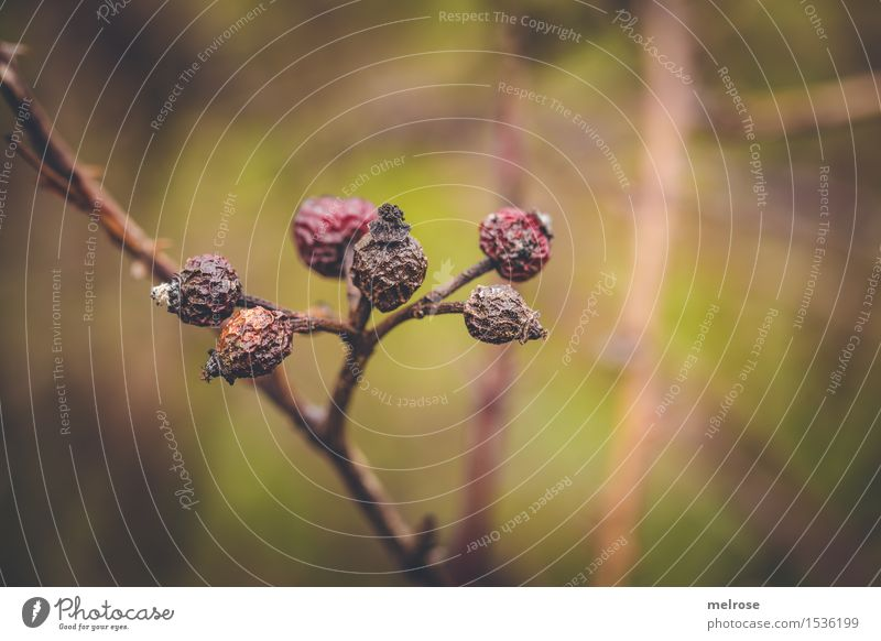 DÖRR-Beeren Hagebutten Umwelt Natur Winter Schönes Wetter Pflanze Blume Sträucher Blüte Wildpflanze Rosengewächse Blütenpflanze Lebewesen Beerensträucher Feld