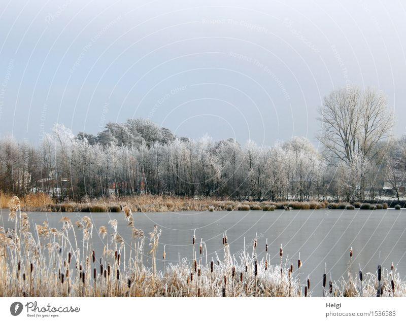 Winter am See Umwelt Natur Landschaft Pflanze Wolkenloser Himmel Schönes Wetter Eis Frost Baum Wildpflanze Rohrkolben Schilfrohr Seeufer frieren stehen
