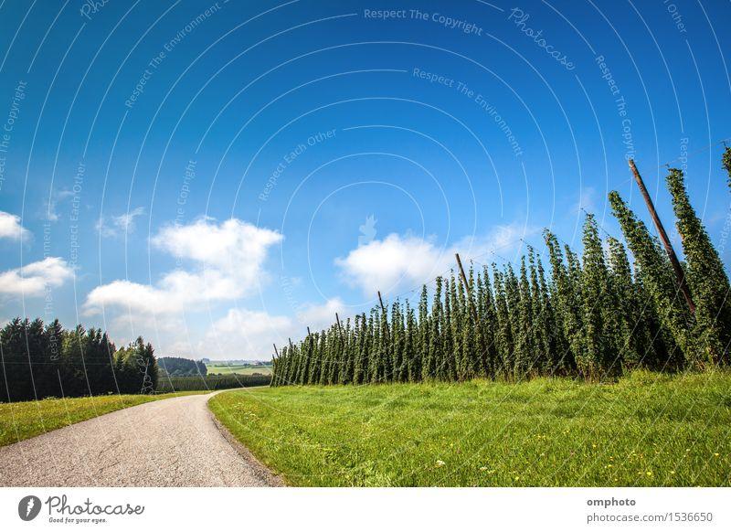 Reife Hopfen Pflanzen Himmel blau grün Sommer Landschaft Wolken Garten Linie Wachstum Industrie Kräuter & Gewürze Ernte Bier ländlich Zutaten
