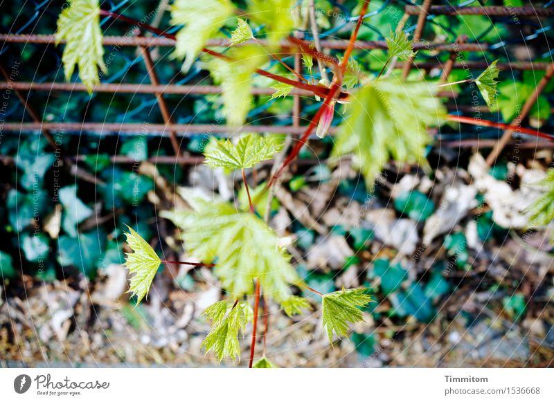 Experiment | Dieses Bild hier bringen. Umwelt Pflanze Efeu Wegrand Gitter Zaun Wachstum grün unordentlich schäbig Farbfoto Außenaufnahme Menschenleer Tag Licht