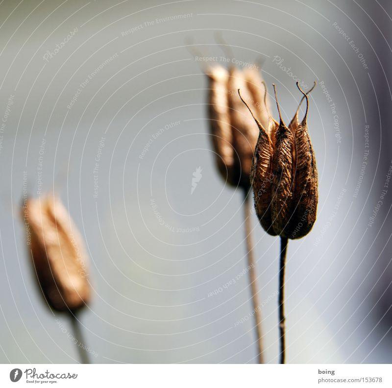 Metamorphose II Blume Pflanze Herbst Tod braun trocken verblüht