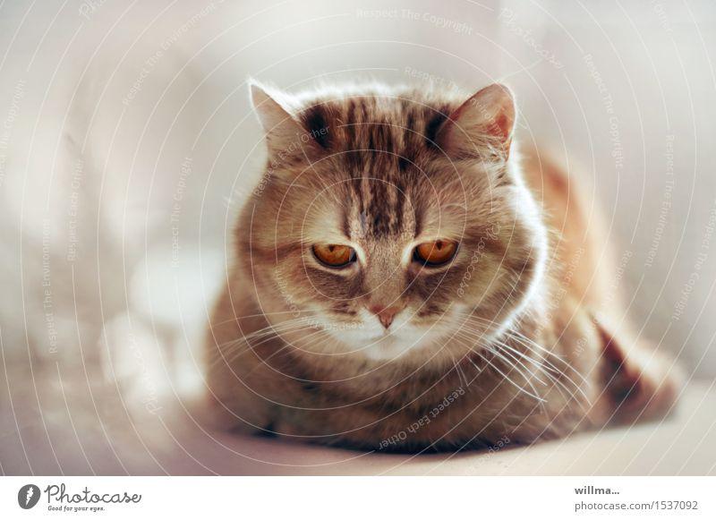 katzenporträt Katze Tier liegen niedlich weich Haustier Tiergesicht Schnurrhaar eigenwillig bernsteinfarben