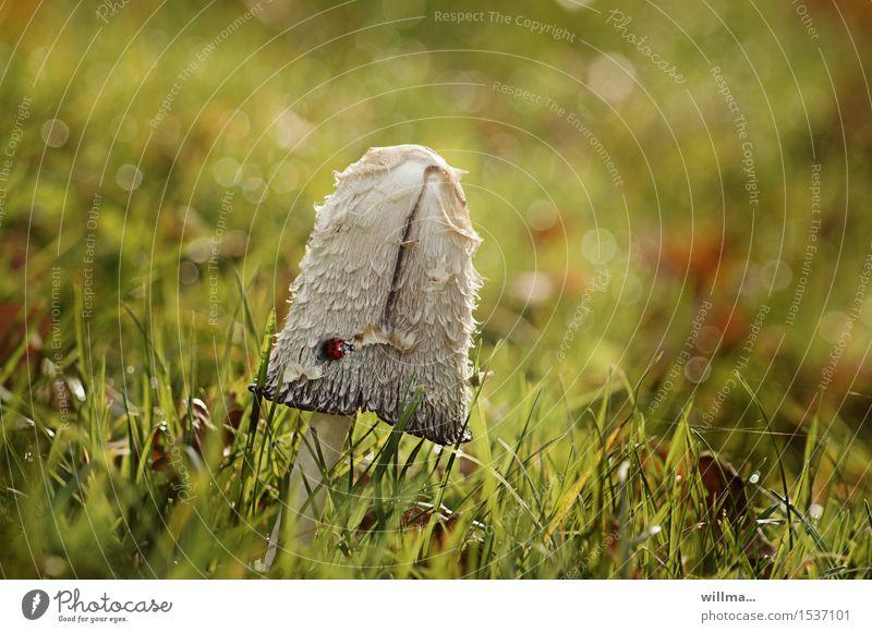 pünktlich aufn pils, gleich neben dem spargelfeld! Pilz Schopftintling Tintlinge Spargelpilz Tintenpilz Tintenschopfling champignonverwandt Wiese Käfer