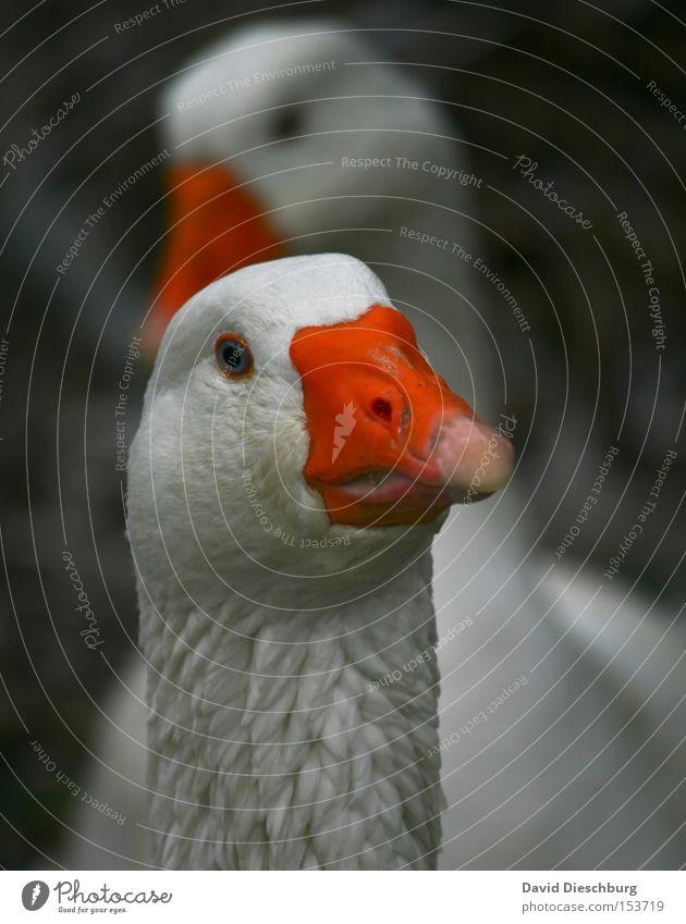 Was gabs bei euch zu Weihnachten ? Tier orange 2 Vogel Feder Tiergesicht Schnabel Gans Tierzucht Federvieh Tierhaltung Viehhaltung