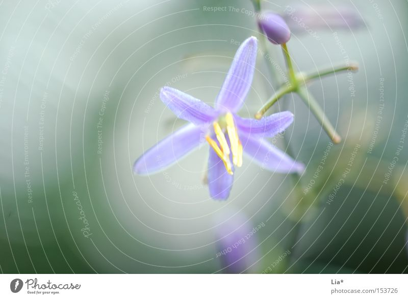 Frühlingsduft Duft Natur Pflanze Blume Blüte Blühend grün violett rein leicht sanft zart Frühlingsblume Frühlingsfarbe Nahaufnahme Makroaufnahme Unschärfe