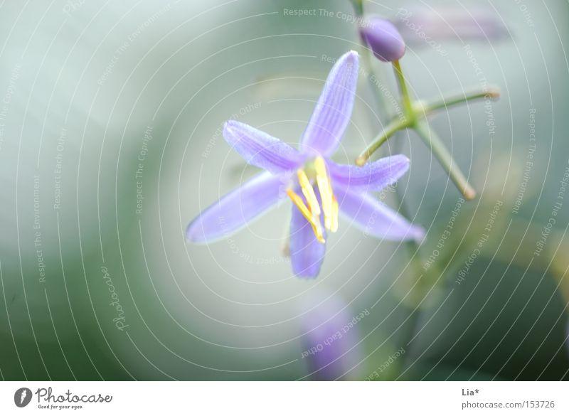 Frühlingsduft Natur grün Pflanze Blume Blüte rein violett zart Blühend Stengel Duft leicht sanft Blütenblatt Frühlingsblume