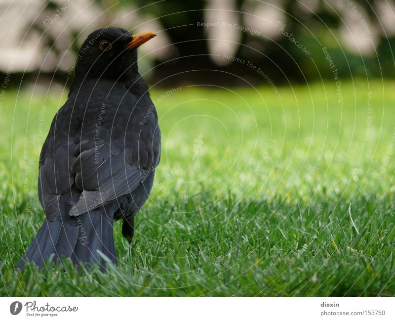 Schwarzdrossel (Turdus merula) Vogel Amsel Wiese Garten Feder Schnabel Flügel Auge Blick schwarz grün Frühling Park Schwanzfedern Kulturfolger View Hinterteil