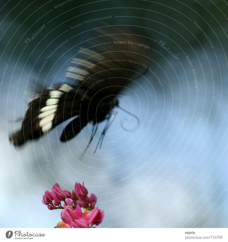 auf und davon schön weiß Blume blau schwarz Tier Blüte Bewegung rosa fliegen Luftverkehr Flügel Insekt zart Schmetterling Dynamik