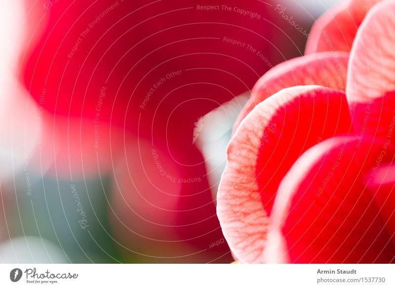 Rose Stil Design schön Gesundheit Wellness Leben harmonisch Sinnesorgane ruhig Duft Valentinstag Natur Pflanze Blühend Liebe ästhetisch Fröhlichkeit positiv