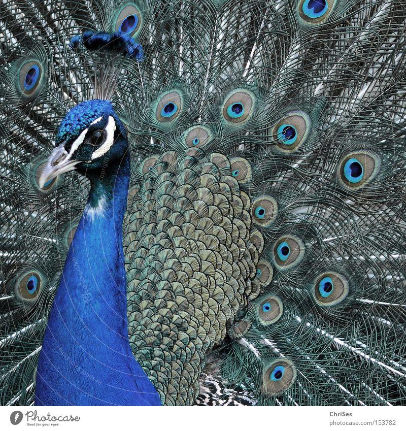 Pfau in blassblau_02 schön Tier Auge grau Vogel Park Feder Zoo Rad Präsentation eitel Federvieh Brunft Radschlagen
