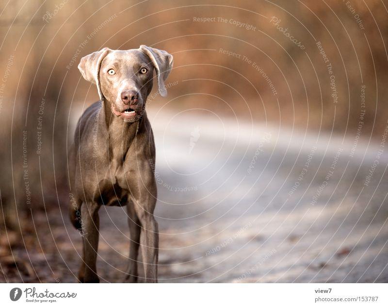 Au backe: Hund Weimaraner Tier Jagdhund Spannung Perspektive Blick Konzentration Säugetier Momentaufnahme Außenaufnahme Textfreiraum rechts Starrer Blick