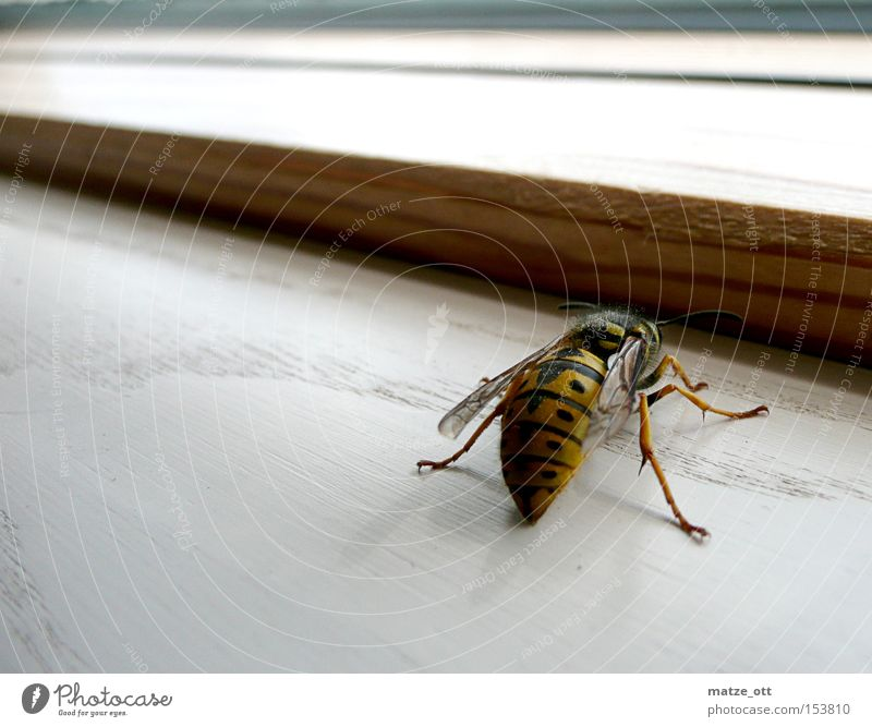 Wespe von hinten Tier Fenster Insekt Biene Stachel Wespen Taille