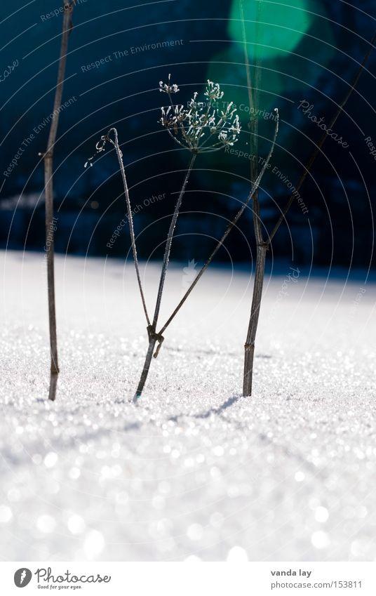 Im Licht Pflanze Winter kalt Schnee Eis Frost dünn Vergänglichkeit vertrocknet getrocknet Blendenfleck Doldenblüte