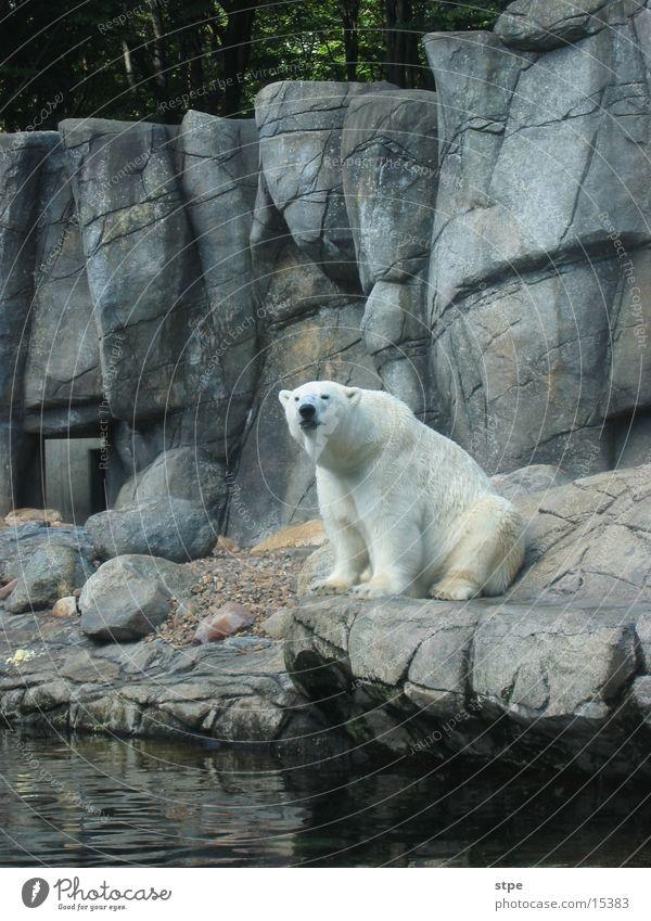 Eisbär Tier Zoo Aalborg sitzen Felsen Wasser