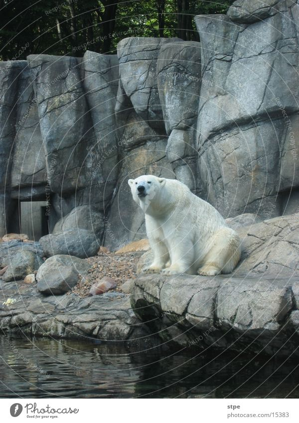 Eisbär Wasser Tier Felsen sitzen Zoo