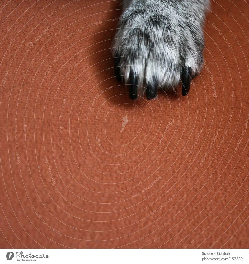GimMe Five! Hund weiß Tier schwarz orange Behaarung Sofa Sitzgelegenheit Säugetier Pfote geschnitten Krallen Polster Knurren
