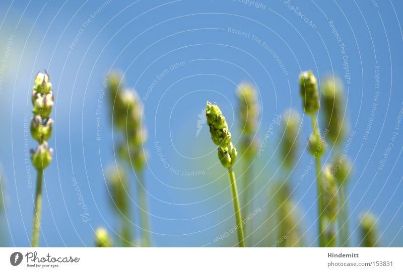 Sommerklassiker Himmel grün schön blau Pflanze Blüte Gras Wärme Sehnsucht zart Getreide Duft Halm Ähren Lavendel
