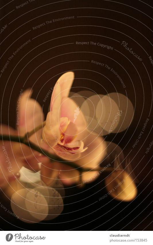 Gemalt schön Blume Blüte rosa ästhetisch Blühend Reflexion & Spiegelung Orchidee zerbrechlich filigran Lichtpunkt